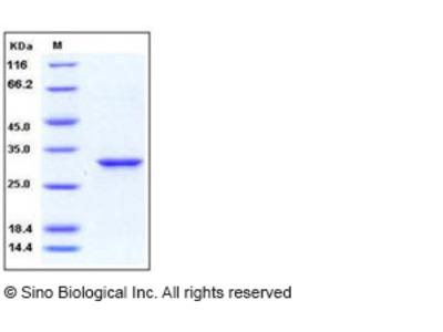 Human 14-3-3 epsilon / YWHAE Protein