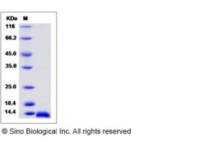 Rat CCL3 / Mip1a Protein