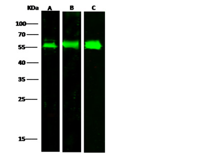 LAMP2 / CD107b Antibody, Rabbit PAb, Antigen Affinity Purified