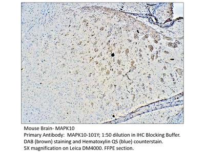 MAPK10 Antibody