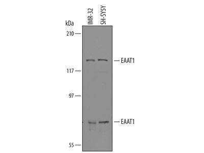 EAAT1 / GLAST-1 Antibody