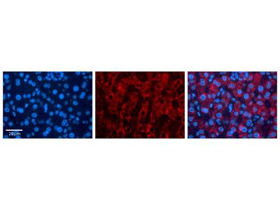 FKBP4 antibody - C-terminal region (ARP30180_P050)
