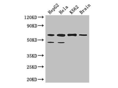 PAF1 Polyclonal Antibody