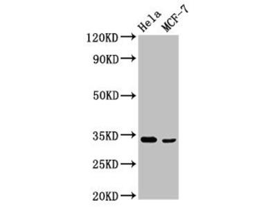 NFKBID Polyclonal Antibody