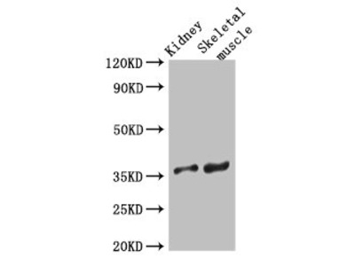 SLC25A32 Polyclonal Antibody