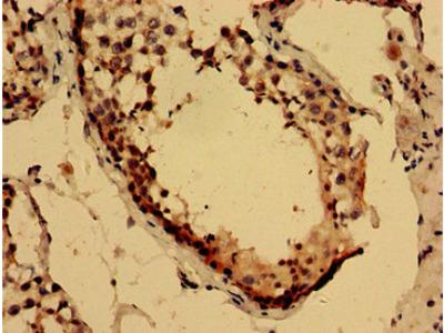 LYZL2 Polyclonal Antibody