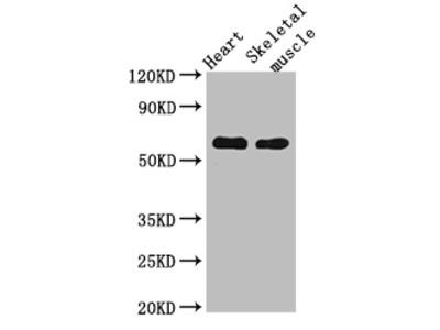 CES1 Polyclonal Antibody