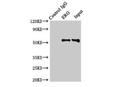 ERG Polyclonal Antibody