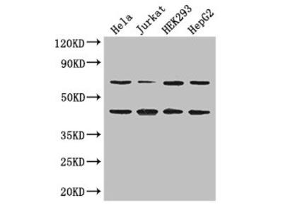 DAZAP1 Polyclonal Antibody