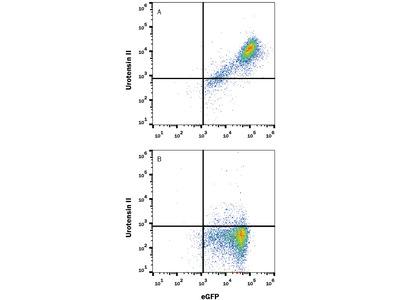 Urotensin-II R Antibody