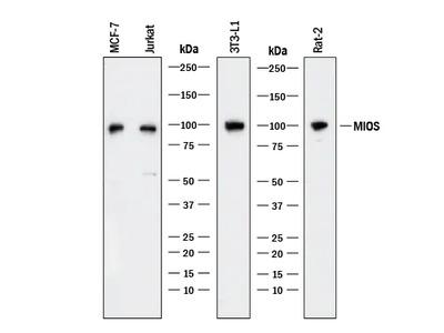 MIOS Antibody