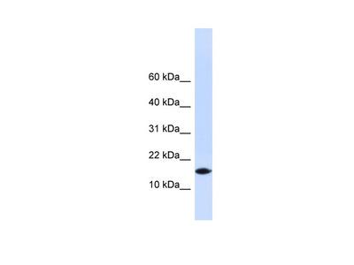 PHLDA3 antibody - N-terminal region (ARP54891_P050)