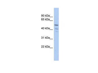 TRIM50 antibody - middle region (ARP34495_P050)