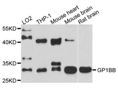 GP1BB / CD42c Polyclonal Antibody