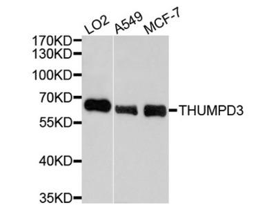 THUMPD3 Antibody