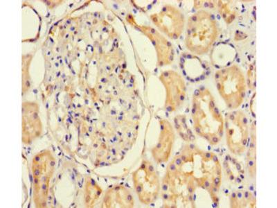 NF1A / NFIX Antibody