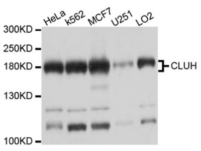 CLU1 / KIAA0664 Antibody