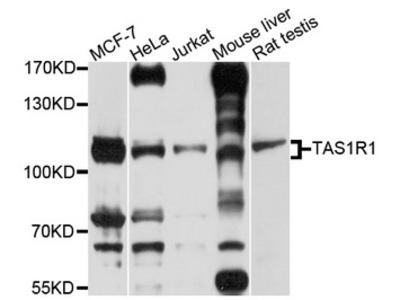 T1R1 / TAS1R1 Antibody