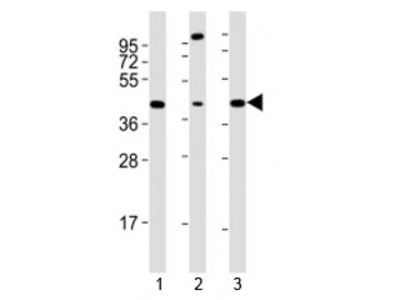 Sox17 Antibody