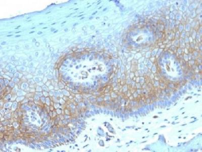 Thrombomodulin Antibody / CD141 (Mouse Monoclonal)