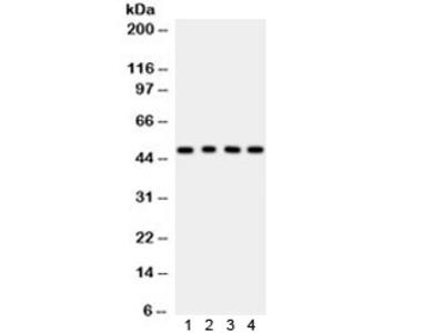 CTBP1 Antibody