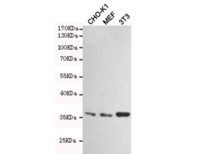 HtrA2 / Omi Antibody (Mouse Monoclonal)
