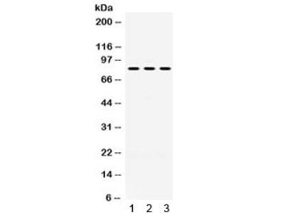 PAK7 / PAK5 Antibody