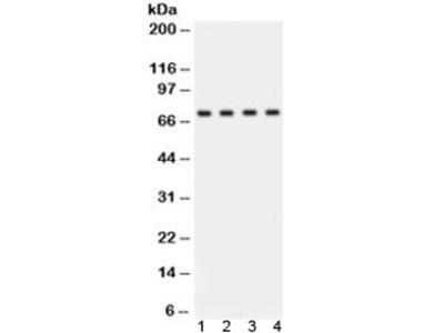 ABCG2 Antibody (BCRP)
