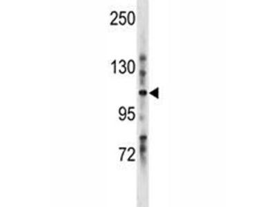 LRIG1 Antibody