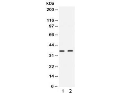 SIX1 Antibody