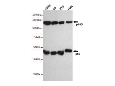NFKB1 Antibody (Mouse Monoclonal)