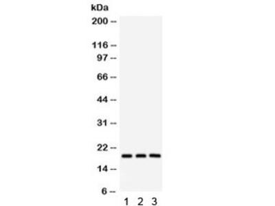 SFRS3 Antibody