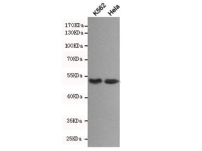 Beta Arrestin 1 Antibody (Mouse Monoclonal)