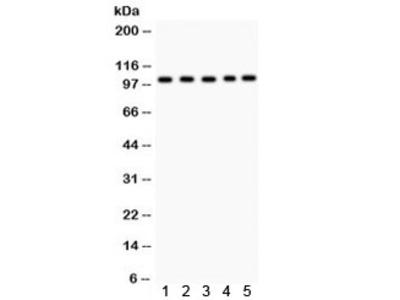 Band 3 Antibody / SLC4A1