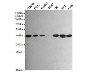 p38 MAPK Antibody / MAPK14 (Mouse Monoclonal)