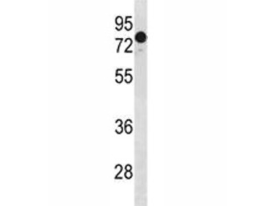 GATAD2A Antibody (p66 alpha)