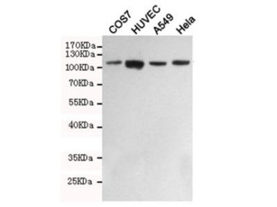 FAK Antibody / Focal Adhesion Kinase (Mouse Monoclonal)