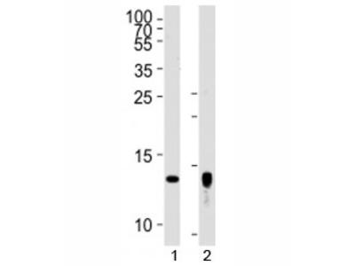 Thioredoxin 2 Antibody (Trx2)