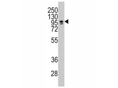 CBF Antibody (CEBPZ)