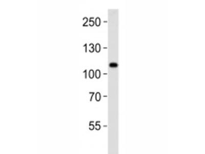 Mib1 Antibody (Mindbomb)