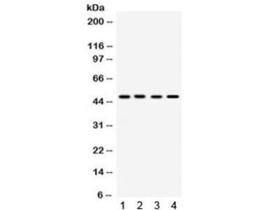 SULT2B1 Antibody