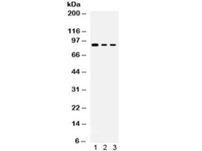 Ataxin 1 Antibody / ATXN1