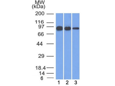 Beta Catenin Antibody (Mouse Monoclonal)