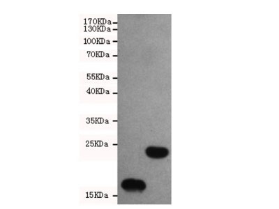 Thioredoxin Antibody / TRX (Mouse Monoclonal)