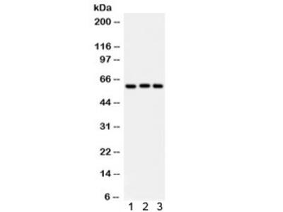 Heparanase 1 Antibody