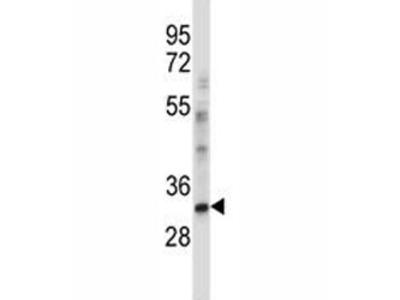 CEBPE Antibody