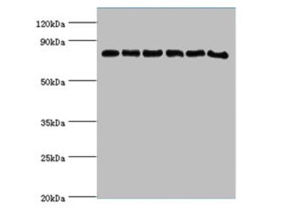 POR Polyclonal Antibody