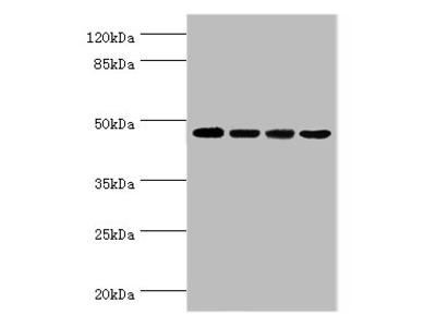 INHBA Polyclonal Antibody