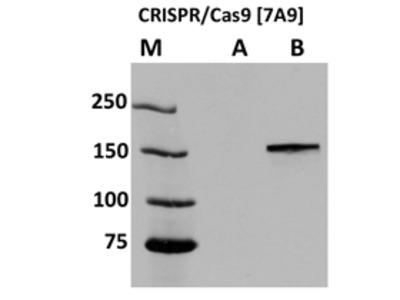 CRISPR Cas9 Monoclonal Antibody [7A9]