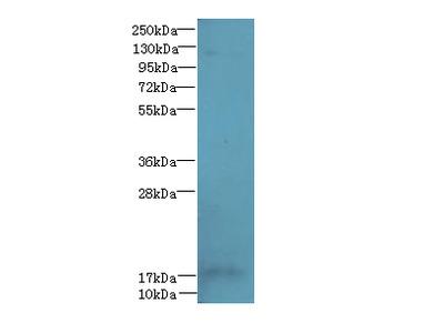FAM96A Polyclonal Antibody